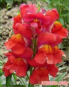 Snapdragon Crona Red